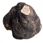 truffe-perigord-dordogne-tuber-melanosporum